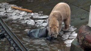 """Fajerwerki wystraszą zwierzęta? """"Niedźwiedzie dostaną środki uspokajające"""""""