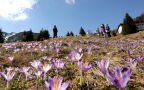 Kwitnące w górach krokusy